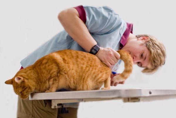 ostruzione uretrale nella prognosi dei gatti