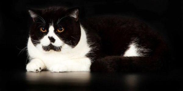 černé kohouty v bílé kočičky