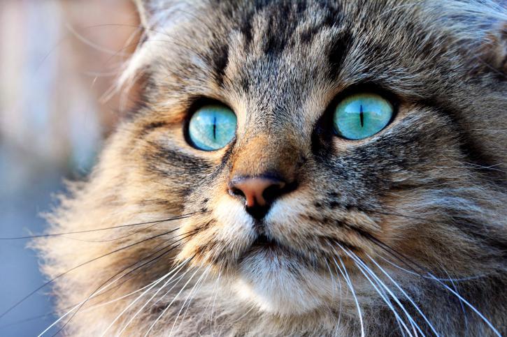 Pengetahuan tentang usia kucing memungkinkan Anda untuk dengan mudah memonitor kesejahteraannya