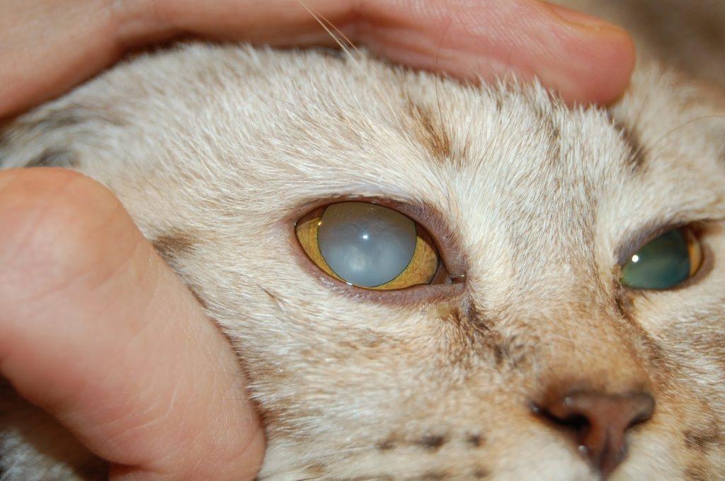 Ο καταρράκτης είναι μια συχνή αιτία των θωρακισμένων ματιών σε γάτες