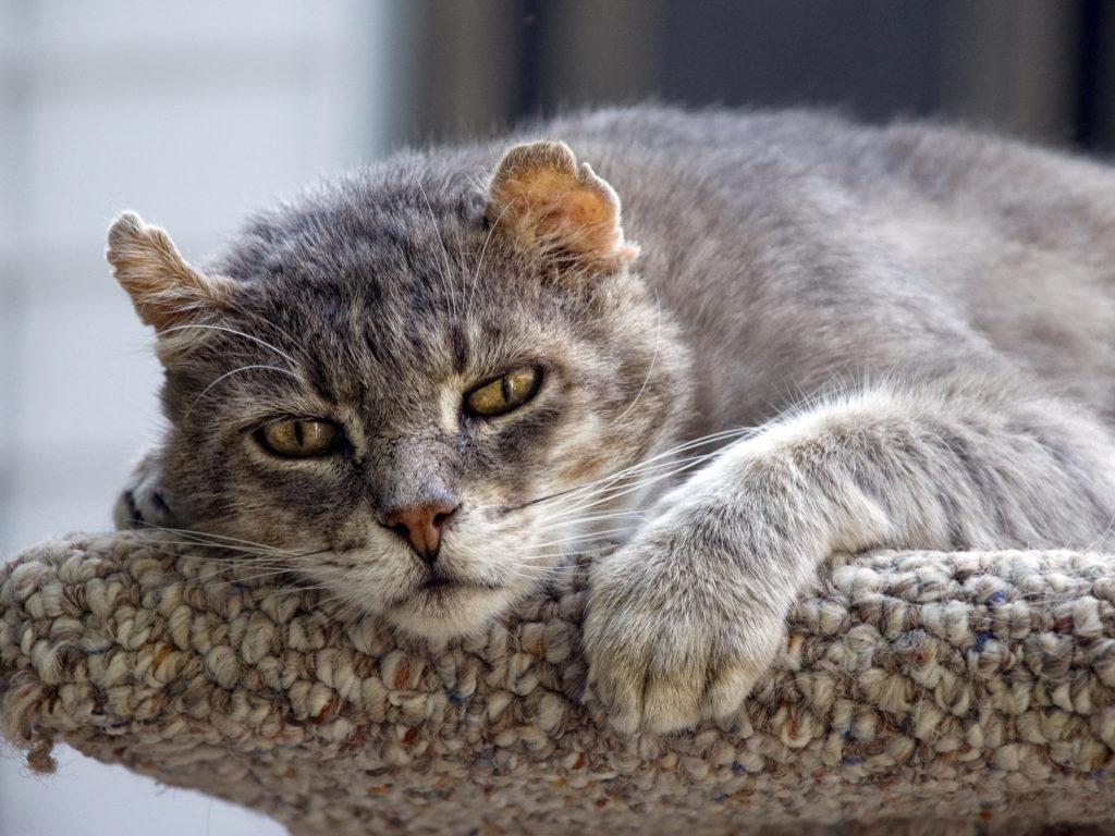 Sistem muskuloskeletal dari kucing tua tidak siap untuk banyak besar, sering membawa ketidaknyamanan