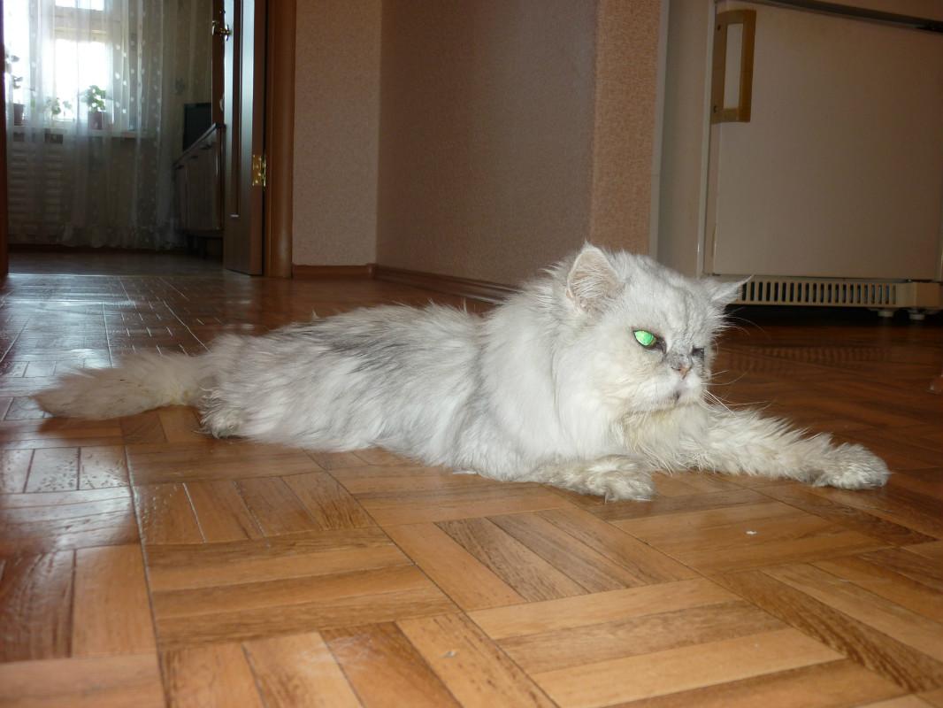 Wol kucing lanjut usia kehilangan mantan soketnya tanpa perawatan yang tepat