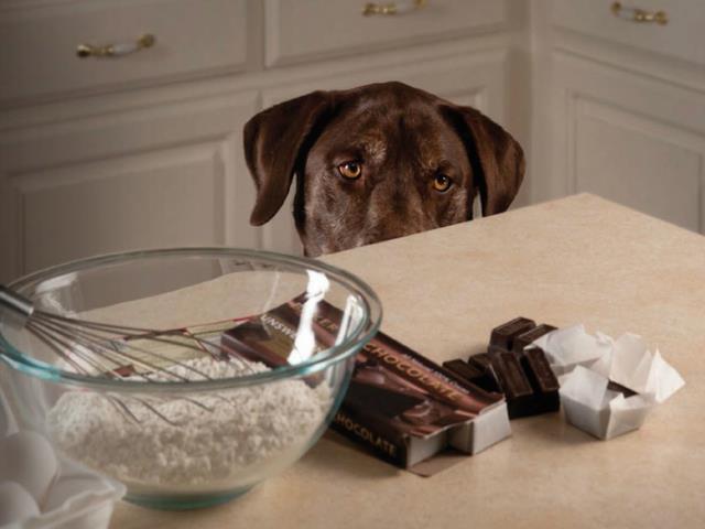 초콜릿에는 개가 위험한 Theobromin이 들어 있습니다