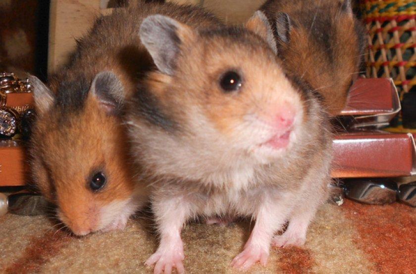 cum să faci hamster pitic să piardă în greutate