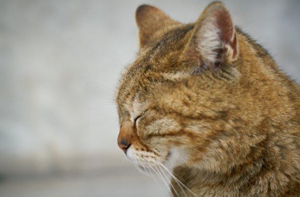 Viral leukemia sa cats: mga pagsusuri, paggamot, bakuna