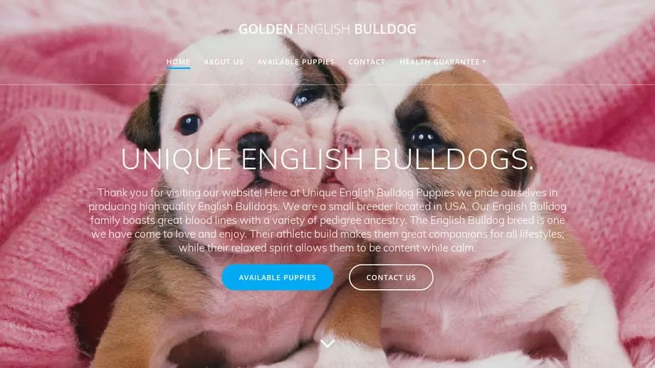 Goldenenglishbulldog