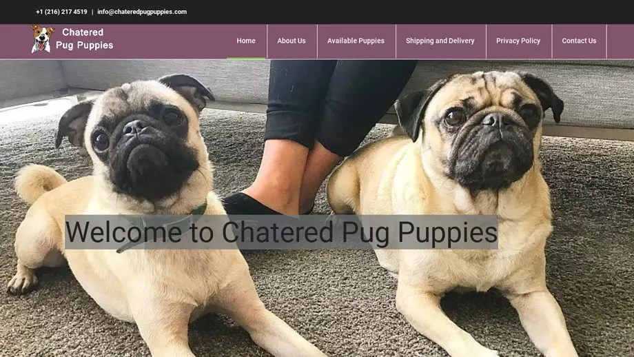 Chateredpugpuppies