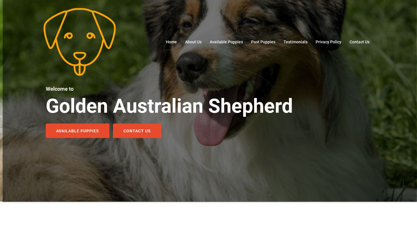 Goldenaustralianshepherd