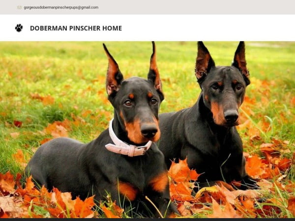 Gorgeousdobermanpinscherpups