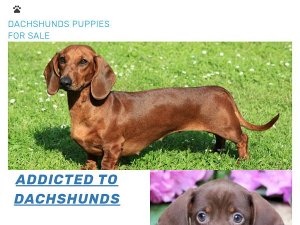 Dachshundspuppies