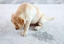 dog scratching carpet
