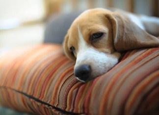 horner syndrome dog