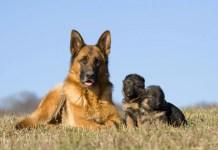How Long Do German Shepherds Live