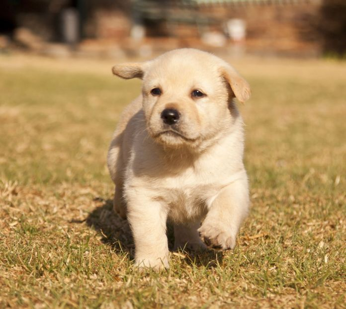 White Labrador puppy runs on grass in sunshine