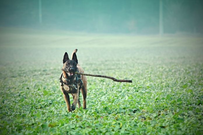 are belgian malinois good family dogs