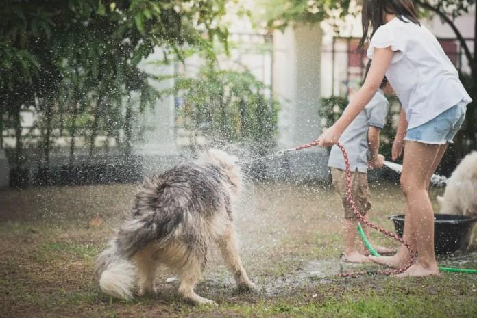 Asian children wash siberian husky dog on summer day