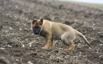 german shepherd potty training problems