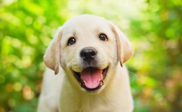 labrador puppy training first month home