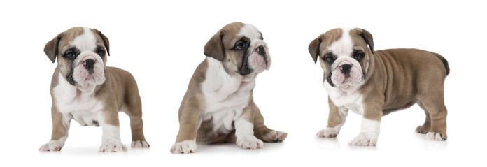 English Bulldog puppy (six weeks old)