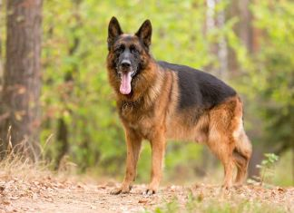 why are german shepherds so smart