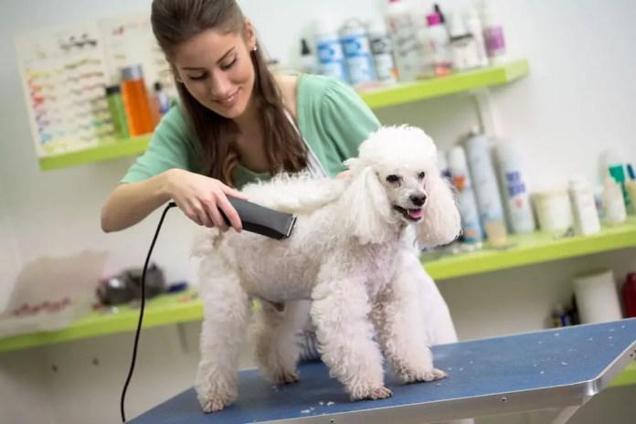 woman haircut white poodle