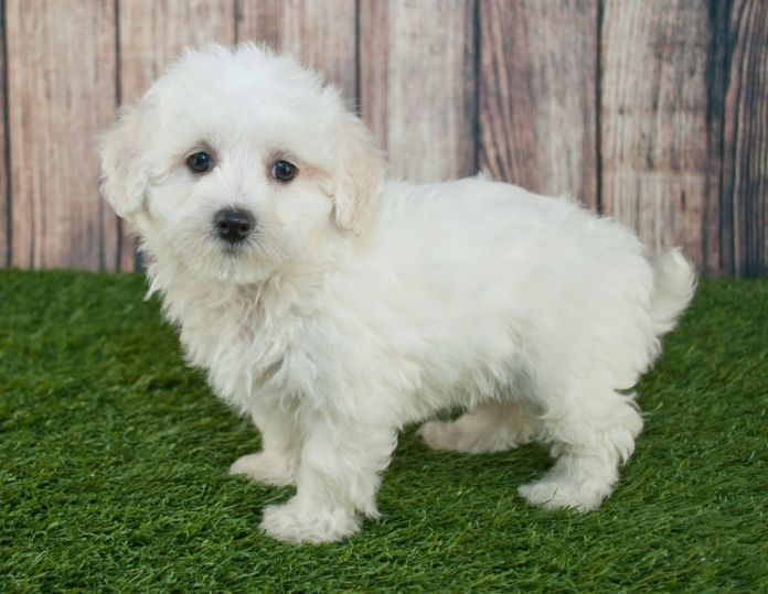 sweet little maltipoo puppy