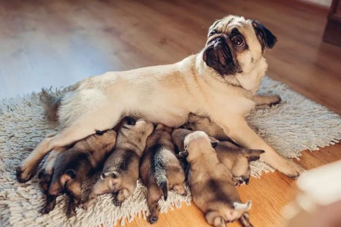 Pug dog feeding six puppies at home