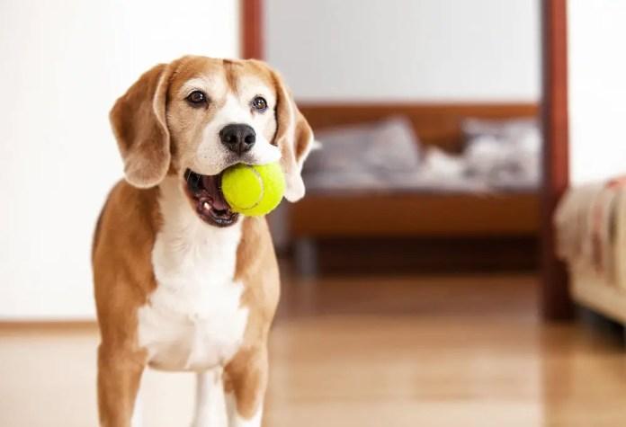 beagle dog with tennis ball