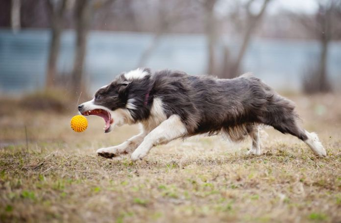 Border Collie dog playing with a toy ball