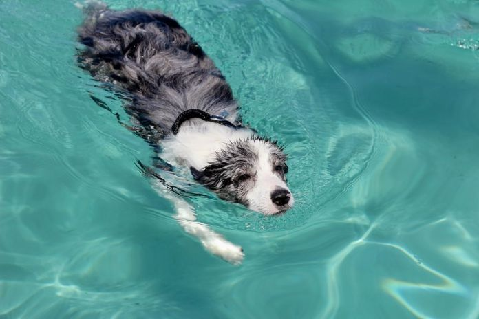 Can Border Collies Swim
