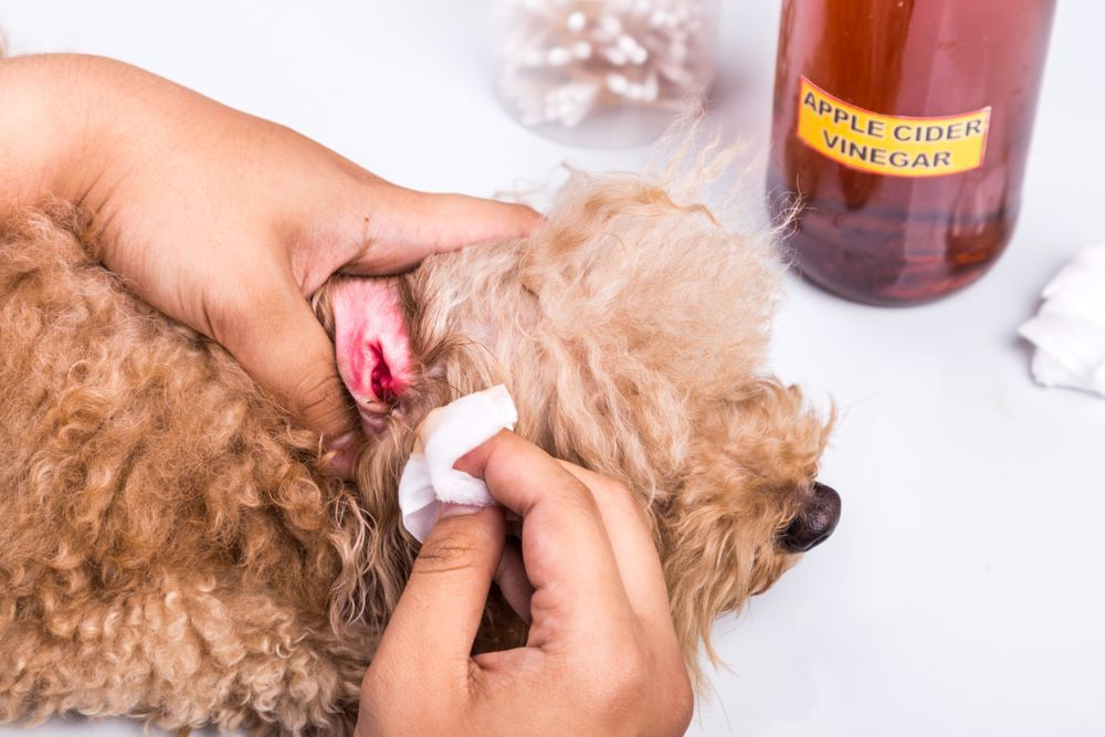 Cleaning inflamed ear of dog with apple cider vinegar