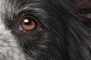 close-up eye from a border collie