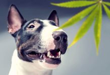 Is CBD Helpful for Pets