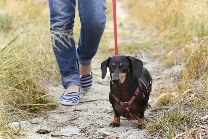 Walking a Dachshund dog