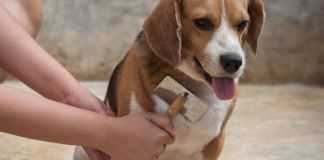 how to keep beagle from shedding