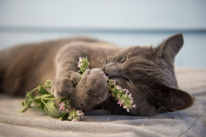 gray cat relaxing with fresh catnip