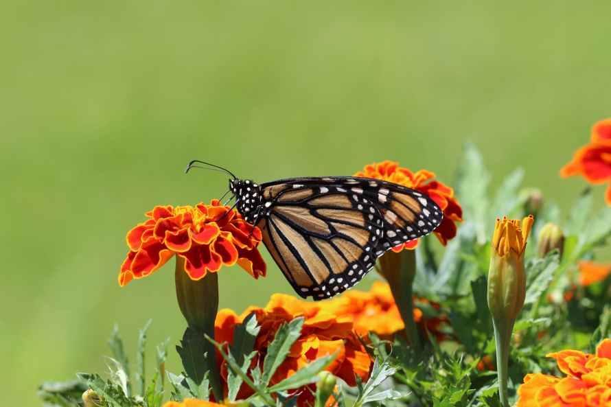 selective focus photography of monarch butterfly perched on marigold flower