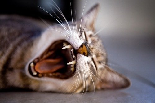 Why Is Your Cat Yawning