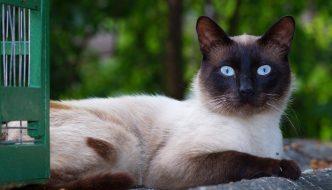 El encantador y divertido carácter del Gato Siames. ¡Conocélo!