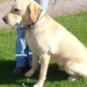 1 Year Old Labrador Retriever