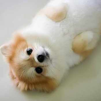1 Year Old Pomeranian For Sale