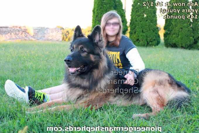 100 German Shepherd Puppies For Sale