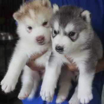 2 Husky Puppies