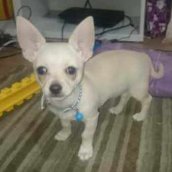 5 Month Old Chihuahua