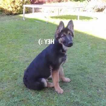 5 Month Old German Shepherd