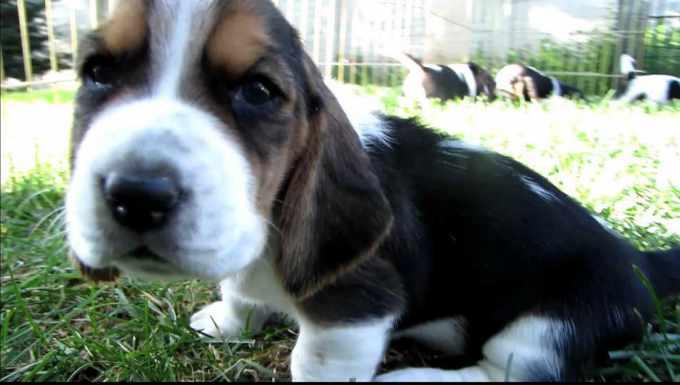 8 Week Old Basset Hound Puppies