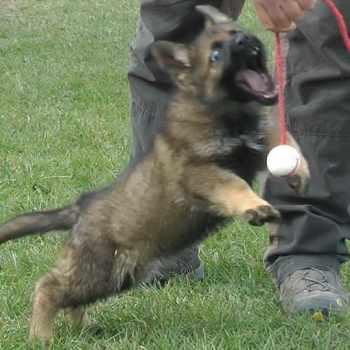 8 Week Old German Shepherd Puppy