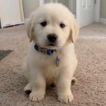 8 Week Old Golden Retriever Puppy