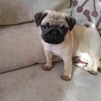 9 Week Old Pug