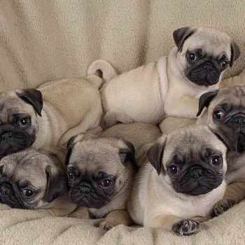 A Baby Pug For Sale
